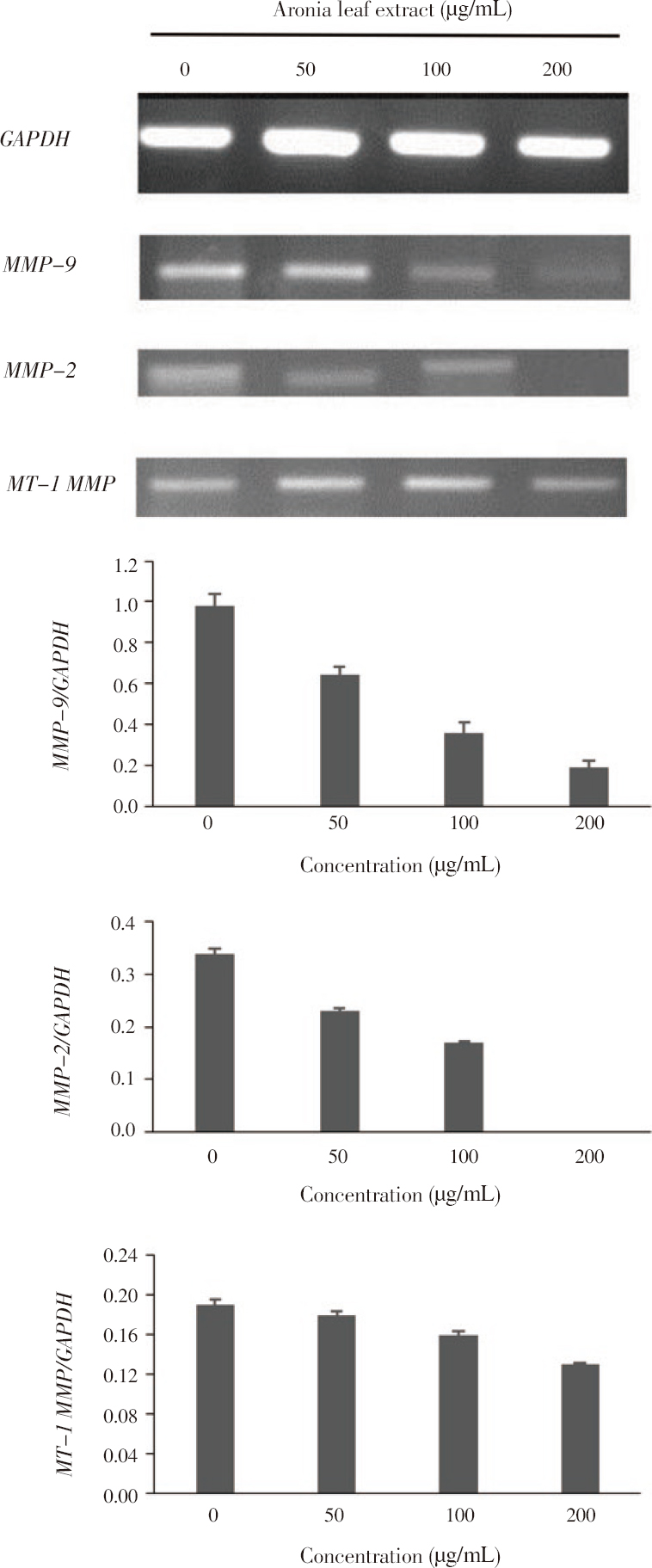 Figure 4: Effect of aronia leaf extract on <i>MMP-2/-9</i> and <i>MT-1 MMP</i> gene expression in SK-Hep1 human hepatoma cells.
