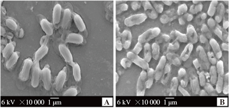 Figure 5: SEM analysis of <i>E. coli</i> BRL-17 treated with EFRA. A: Untreated cells, B: Treated cells. The EFRA treated group (B) showed signs of cell wall damage. The slime production in the control group (A) also disappeared in EFRA treatment (B).